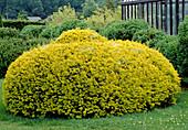 Spherical cut Taxus baccata 'aurea' (Gold yew)