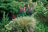 Natural Garden with Lupinus, Juniperus, Digitalis, Euonymus, roses and Grass