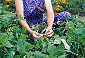 Woman picking bush beans (Phaseolus) in the bed