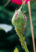 Rosebud with aphids