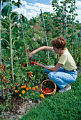 Woman harvesting tomatoes (Lycopersicon) from vegetable bed
