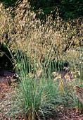 Stipa gigantea (giant feather grass)