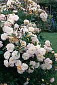 Rose 'Ghislaine de Feligonde', often flowering, light scent