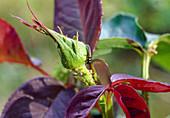 Ladybug larva eats aphids