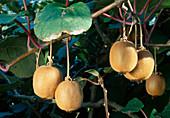 Kiwi actinidia chinensis