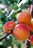 Apricot 'Bergeron' on the branch