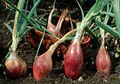 Rote Zwiebeln - Torpedozwiebel - Tropeana Lunga (Allium cepa) im Beet