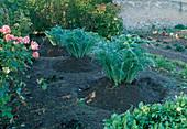 Pile artichoke (cardi) as winter protection