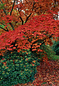 Acer japonicum 'Aconitifolium' with bright red autumn leaves, Pieris