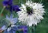 Nigella damascena (virgin in the countryside)