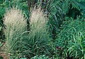 Calamagrostis X Acutiflora 'Overdam' (Striped Riding Grass)