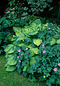 Hosta hybrid 'June' and geranium endresii in the shade flower bed