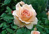 Rose 'Apricot Nectar' polyantharose, often flowering with a strong scent