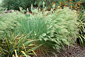 Stipa calamagrostis 'Algäu' (silver-toothed grass, silver-raugras)