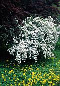 Spiraea cantoniensis, yellow clover as groundcover