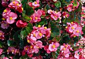 Begonia semperflorens 'Party rose gr.I'