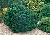 Chamaecyparis lawsoniana 'Gnome' in the coniferous garden