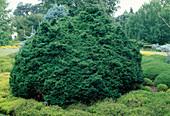 Chamaecyparis lawsoniana 'Tharandtensis Caesia' (Dwarf Cypress)