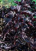 Red Basil 'Purple Ruffles' (Ocimum basilicum)