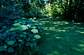 Hydrangea arborescens 'Annabelle' under trees, lawn