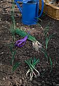 Allium cepa auspflanzen