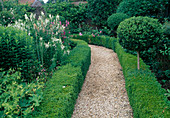 Gravel path between Buxus hedges, ball stems, Galega 'Candida'