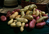 Freshly harvested and washed potatoes, different varieties