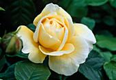 Rosa 'Juliette Greco' 'Malerrose', shrub rose, often flowering, very good scent