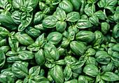 Ocimum basilicum 'Grand Vert' (Basil)
