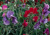 Lathyrus odoratus 'Knee-Hi' (sweetpea)