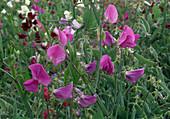 Lathyrus odoratus 'Cupidon' (sweetpea)