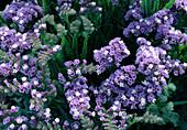 Limonium 'Forever Lavande' (sea lavender)