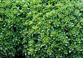 Ocimum basilicum 'Fin Vert Compact' (basil)