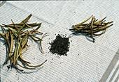 Harvest of Eschscholzia californica seeds, seeds drying