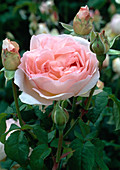 Rosa 'Sharifa Asma' English rose, shrub rose, often flowering, very fragrant