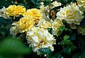 Rosa 'Lichtkoenigin Lucia' shrub rose, often flowering, fragrant, very hardy