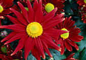 Dendranthema Hybrids 'Tatoo Time Red' (Autumn Chrysanthemum)