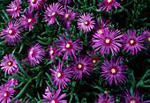 Delosperma Cooperi (midday flower)