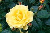 Rosa 'Queen of Light Lucia', shrub rose, often flowering, good scent