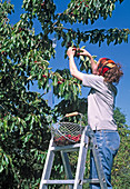 Harvest of sweet cherries, alu strips for bird control