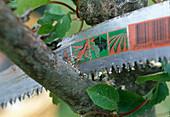 Baumpflege nach Wildverbiß 2. Step: Beschädigten Ast absägen 2/5