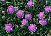 Scabiosa columbaria 'Butterfly Blue' pigeon scabious, widow's flower