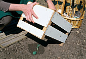 Planting Brassica oleracea cabbage - protect plant with wooden box against sun