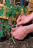 Plant Lycopersicon tomato - Tie tomato plant to support rod