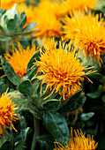 Carthamus tinctorius 'Orange Ball' (safflower)