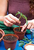 Stecklingsvermehrung von Rosen 6. Step: Erde um den Steckling mit dem Finger andrücken 6/7