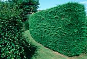Cupressocyparis leylandii (bastard cypress as a high hedge)