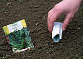Sowing Petroselinum (parsley from the bag