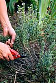 Cutting back of satureja montana (mountain savory)