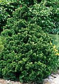 Chamaecyparis obtusa 'Nana gracilis' (Muscular cypress)